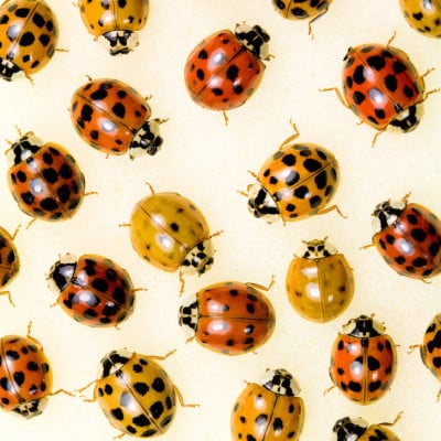 Top 10 Natural Ways To Get Rid of Ladybugs AKA Asian Lady Beetles