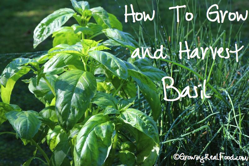 How to Grow Basil | WholeLifestyleNutrition.com