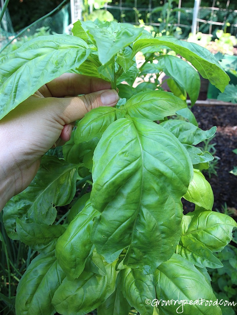 How To Grow Basil | WholeLifestyleNutrition.com