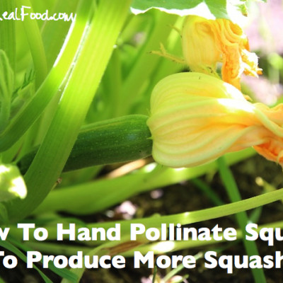 How To Produce More Zucchini and Squash In Your Garden!