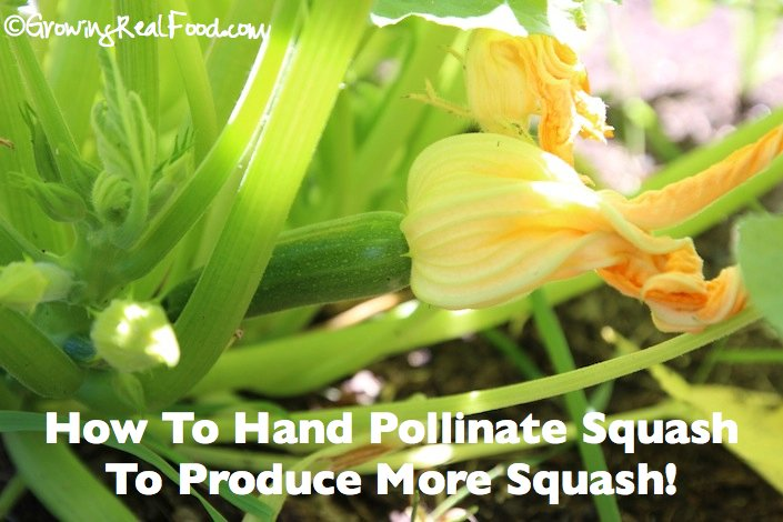 How To Produce More Zucchini and Squash | WholeLifestyleNutrition.com
