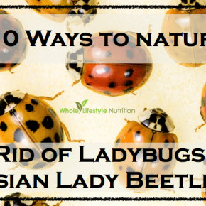 How To Naturally Get Rid of Ladybugs AKA Asain Lady Beetles | WholeLifestyleNutrition.com