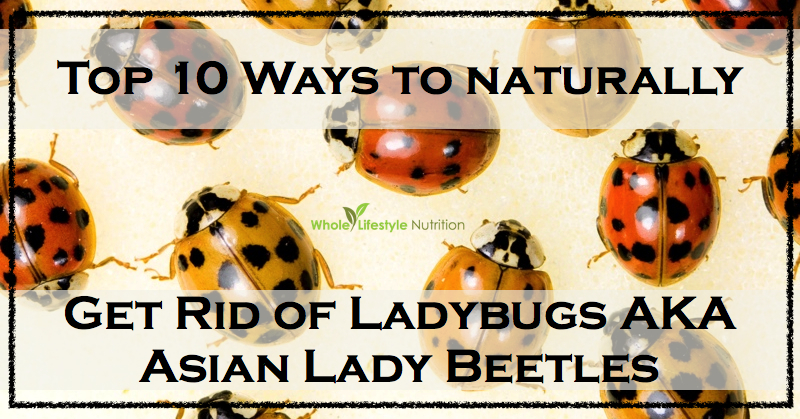 How-To-Naturally-Get-Rid-of-Ladybugs-AKA-Asian-Lady-Beetles