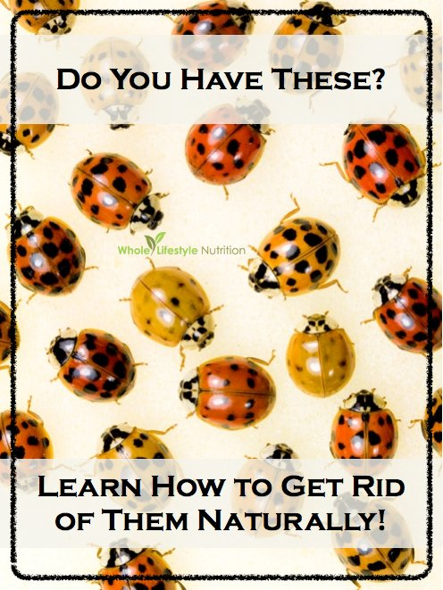 How To Naturally Get Rid of Ladybugs AKA Asian Lady Beetles | WholeLifestyleNutrition.com