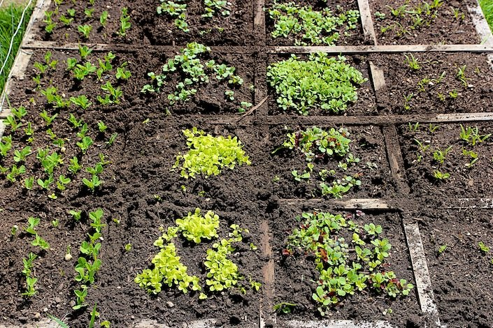 How To Thin Out Seedlings In Your Garden For A Healthier Plant | WholeLifestyleNutrition.com