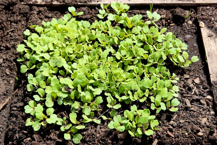 How To Thin Out Seedlings In Your Garden