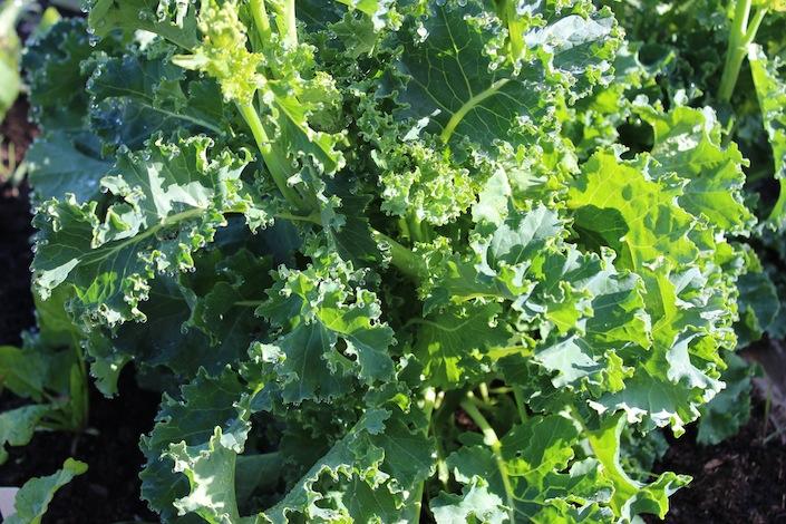Spring Harvest Kale   WholeLifestyleNutrition.com