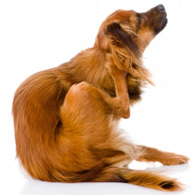 How To Naturally Get Rid of Fleas On Your Pets!