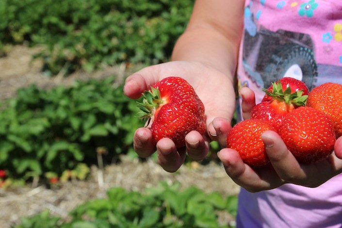 Picking Strawberries | WholeLifestyleNutrition.com