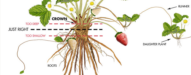 3 Common Mistakes Made When Growing Strawberries