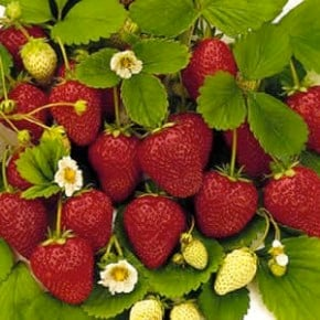 everbearingstrawberries_1