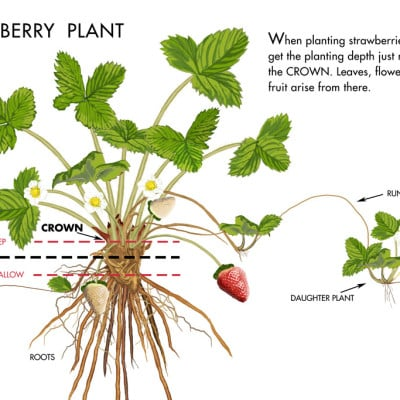 Don't Make These 3 Common Mistakes When Growing Strawberries!