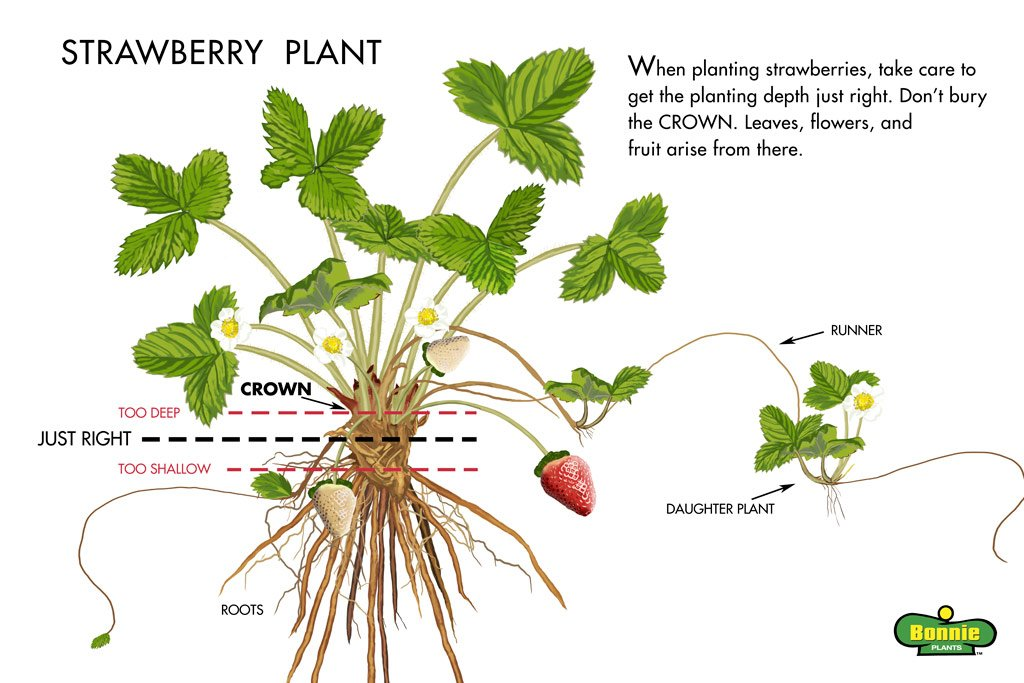 Don T Make These 3 Common Mistakes When Growing Strawberries
